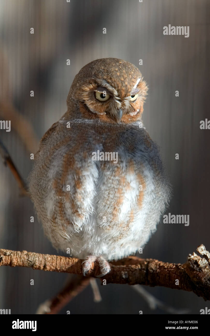 Elf Owl Arizona Buho Enano USA - Stock Image