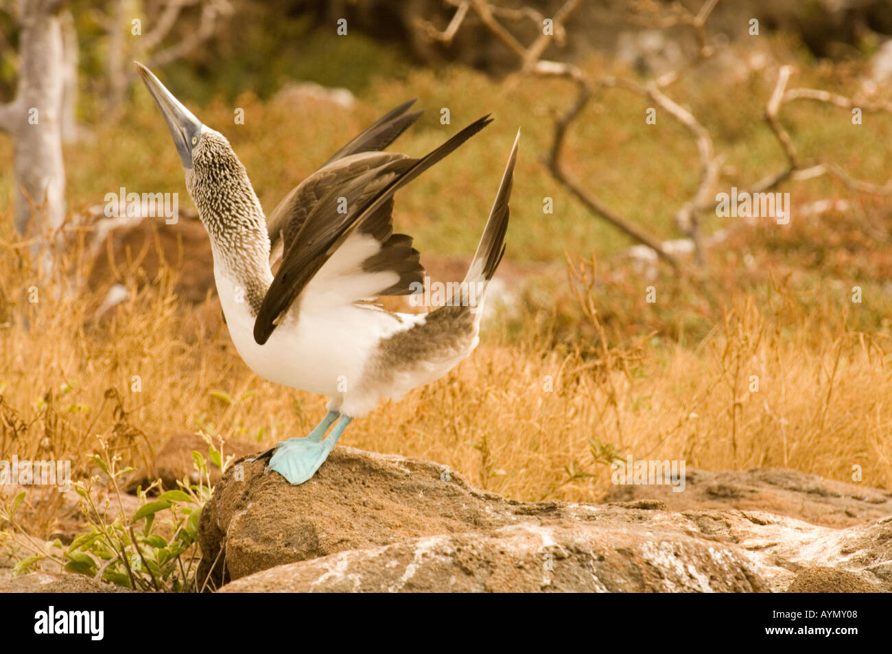 Blue-footed booby (Sula Nebouxii excisa) sky pointing courtship display Seymour Galapagos Ecuador Pacific Ocean Stock Photo