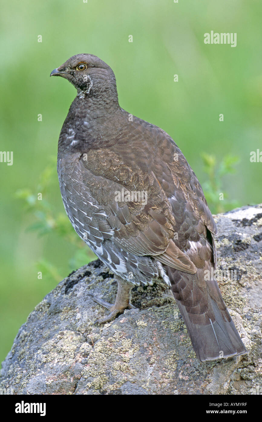 Blue Grouse, Dusky Grouse (Dendragapus obscurus) perched on stone - Stock Image