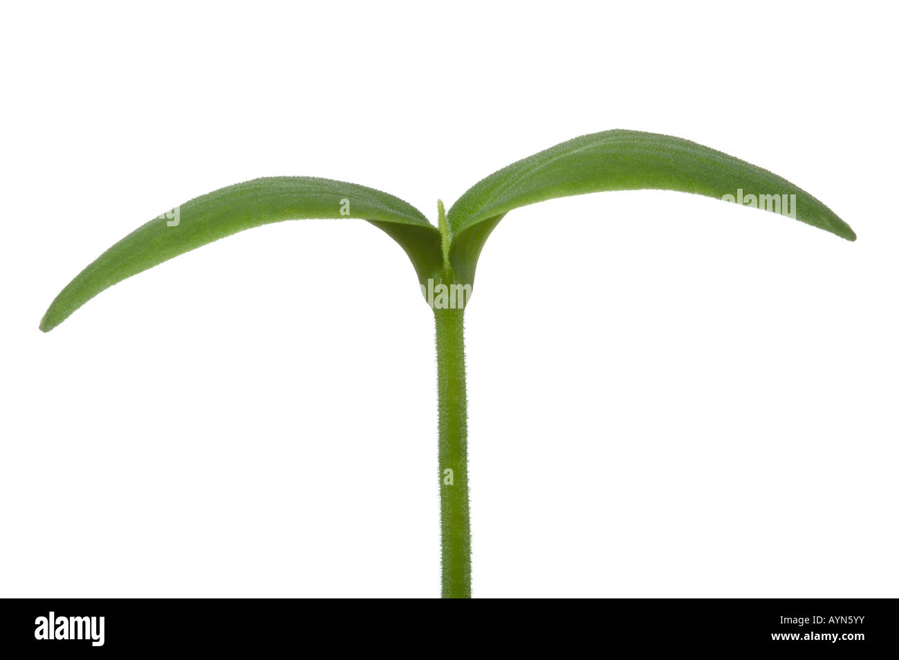 Macro shot of a young plant seedling with two leaves Isolated on a white background Stock Photo