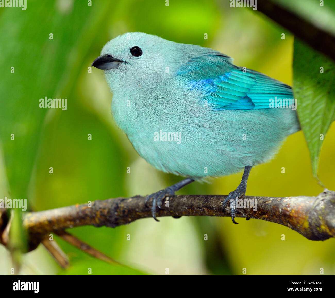 Blue gray Tanager Thraupis episcopus songbird close up in Costa Rica - Stock Image