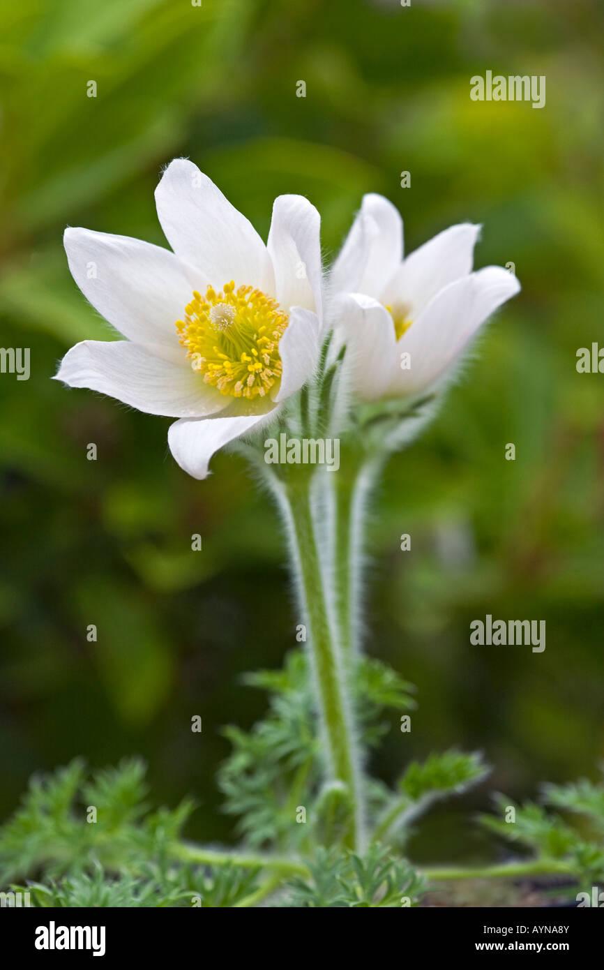 Pulsatilla vulgaris 'alba' AGM. White pasque flower - Stock Image