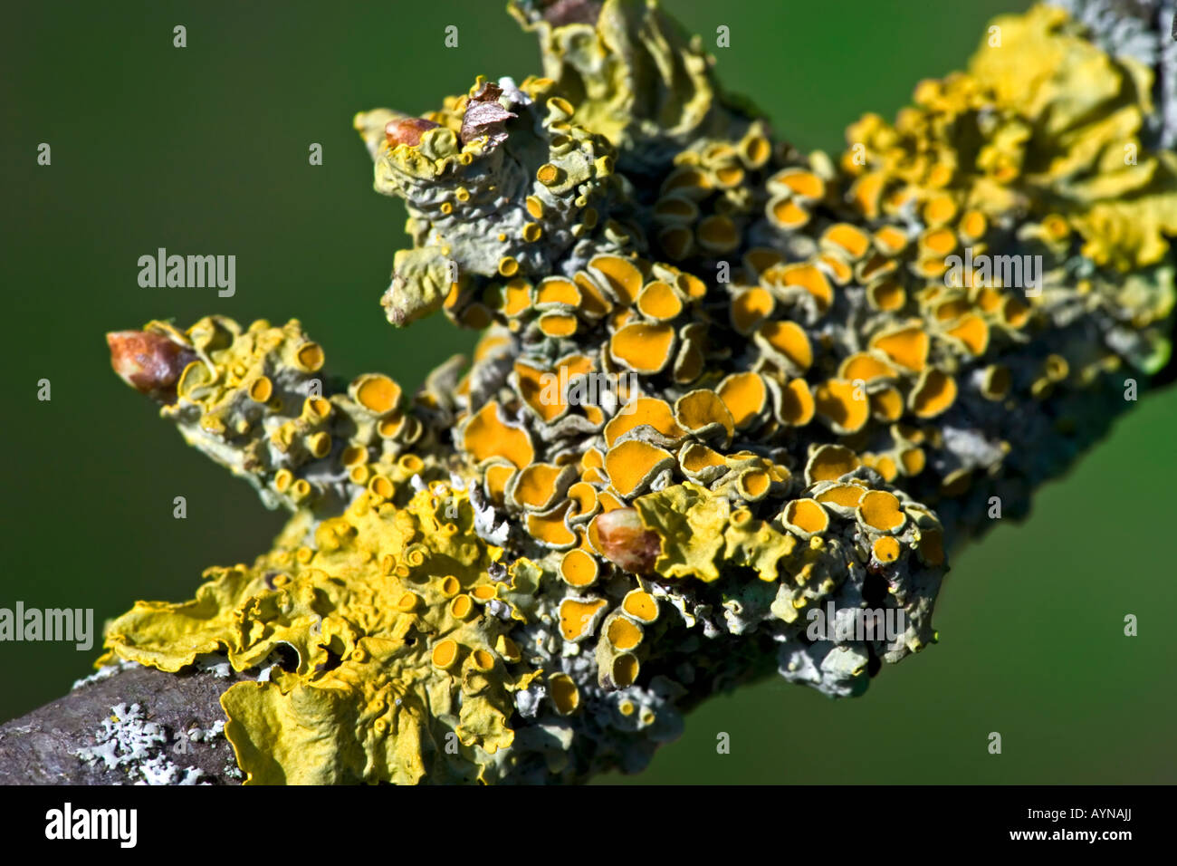Xanthoria parietina, Common orange lichen on a hawthorn tree - Stock Image