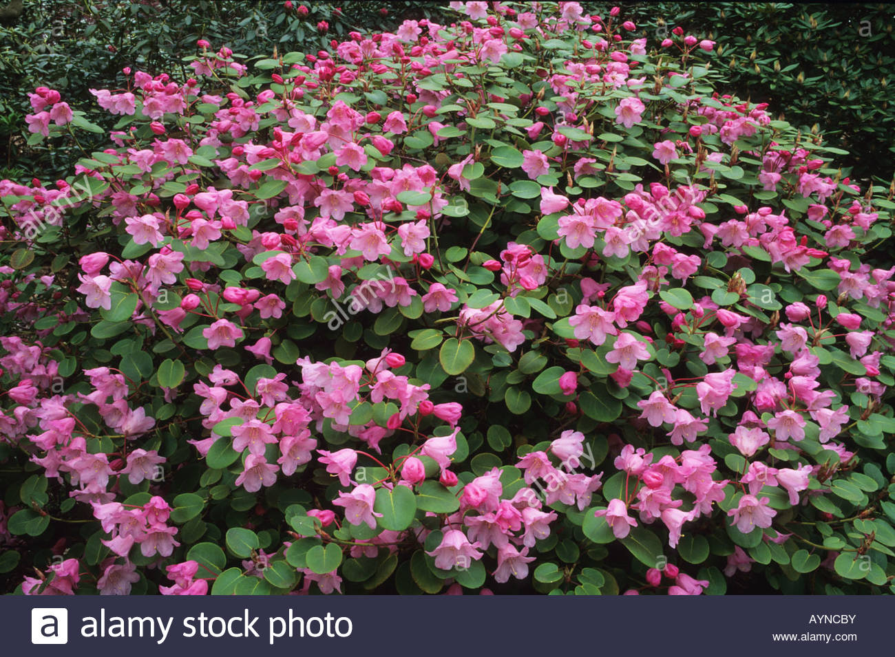 Temple bells blooms stock photos temple bells blooms stock images rhododendron temple bells spring flower shrub pink violet stock image mightylinksfo