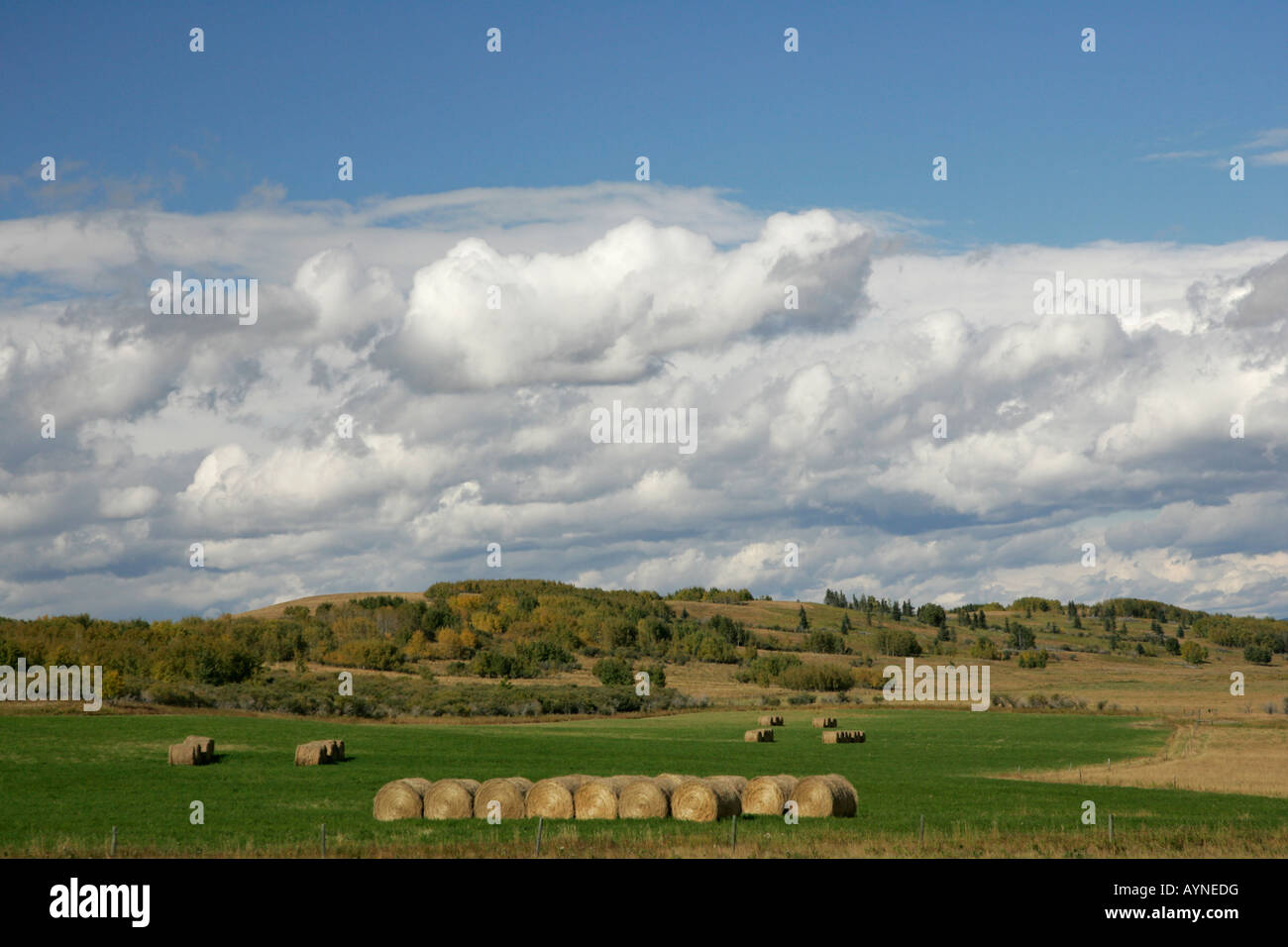 Hayfield in Alberta, Canada, with cylindrical hay bales. - Stock Image