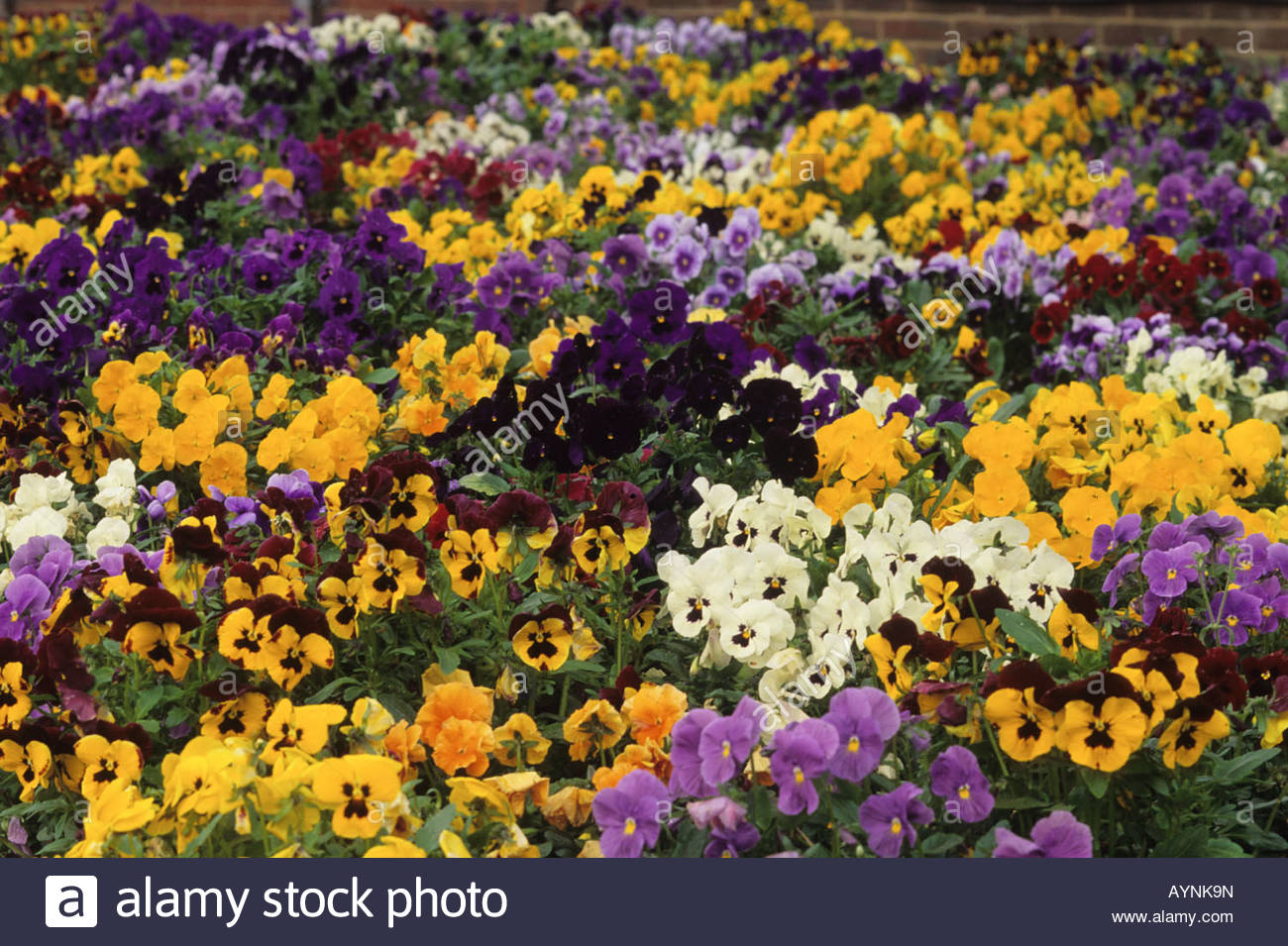 Winter flowering viola stock photos winter flowering viola stock pansy viola x wittrockiana universal series winter spring flowering annuals stock image izmirmasajfo
