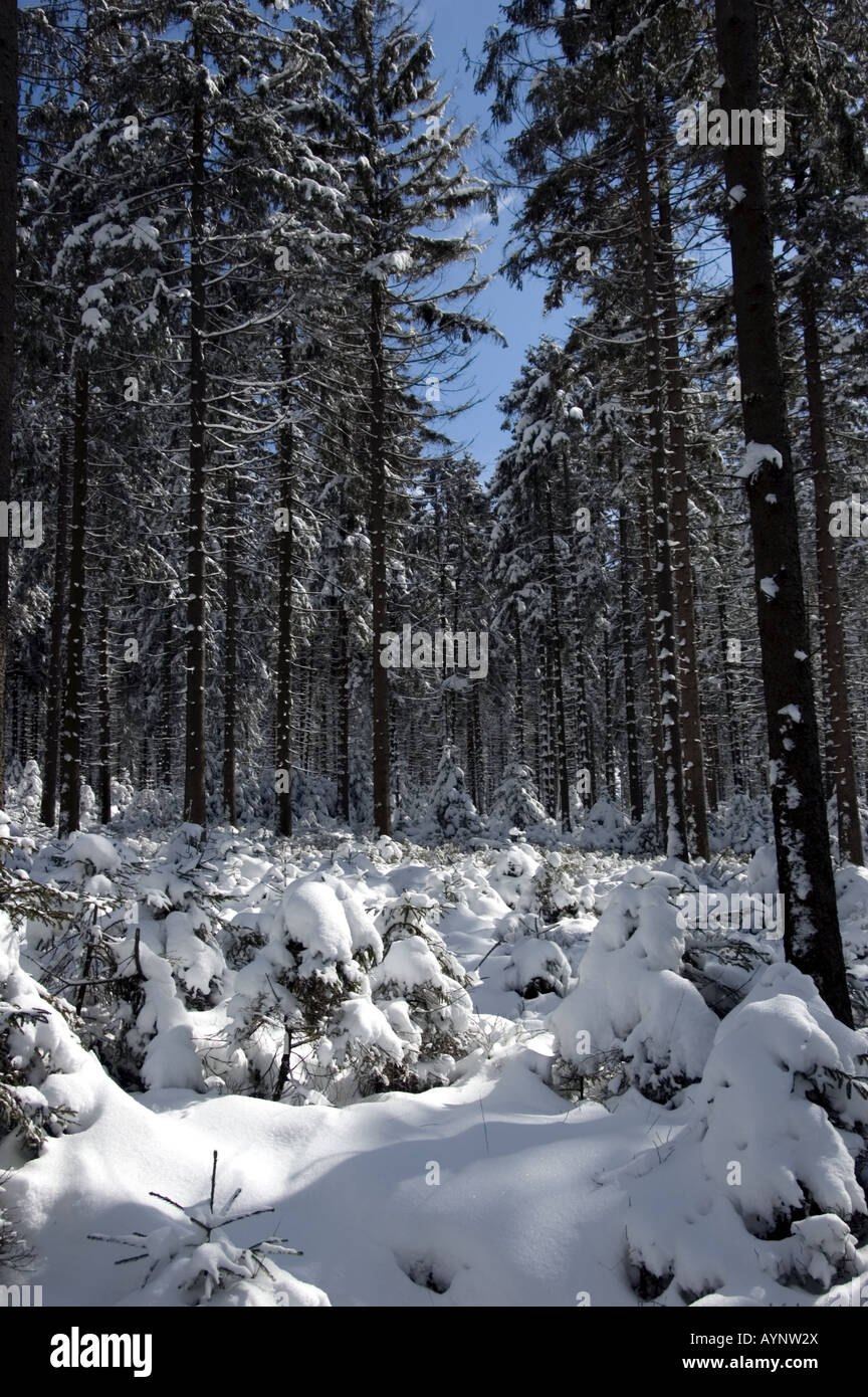 Snow in the Belgian fir forest - Stock Image