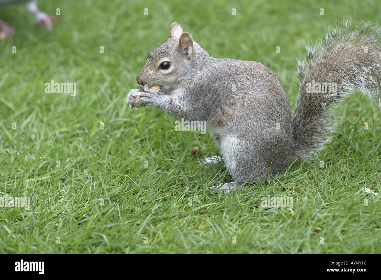 Graues Eichhoernchen fressend auf einer Wiese in Kensington Gardens London Stock Photo