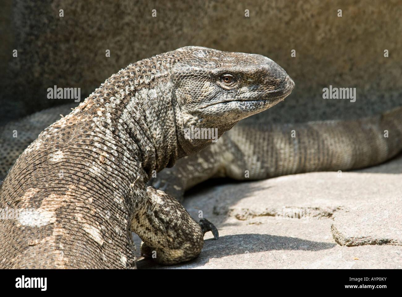 White Throated Monitor Lizard Stock Photo 17154158 Alamy