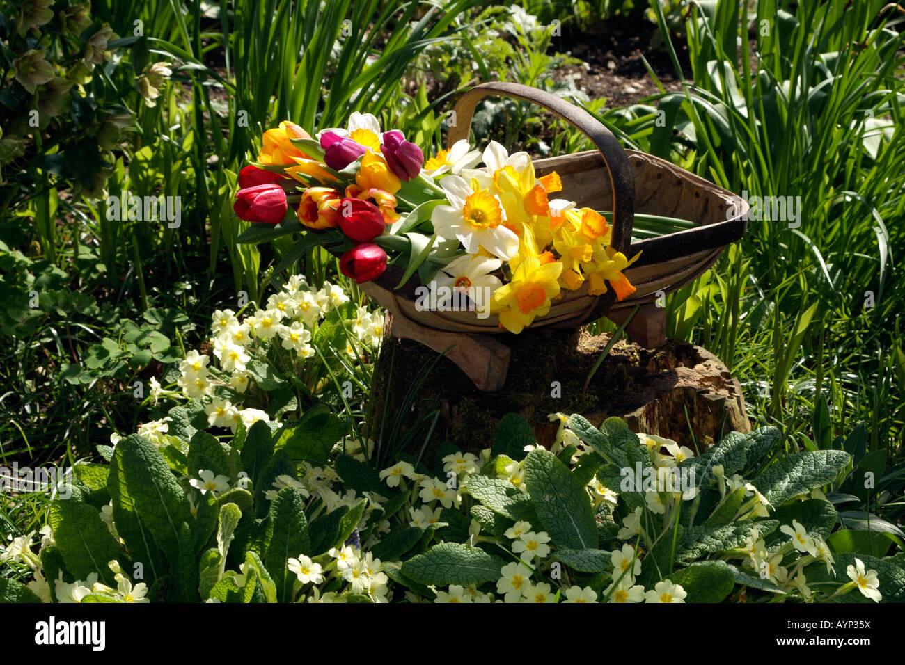 Spring Cut Flowers in a Wooden Garden Trug in an English Country Garden - Stock Image
