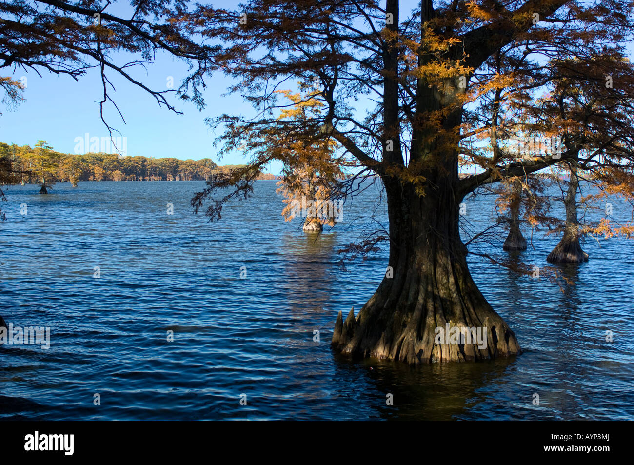Cypress trees in the lake at Reelfoot Lake State Park a 25 000 acre