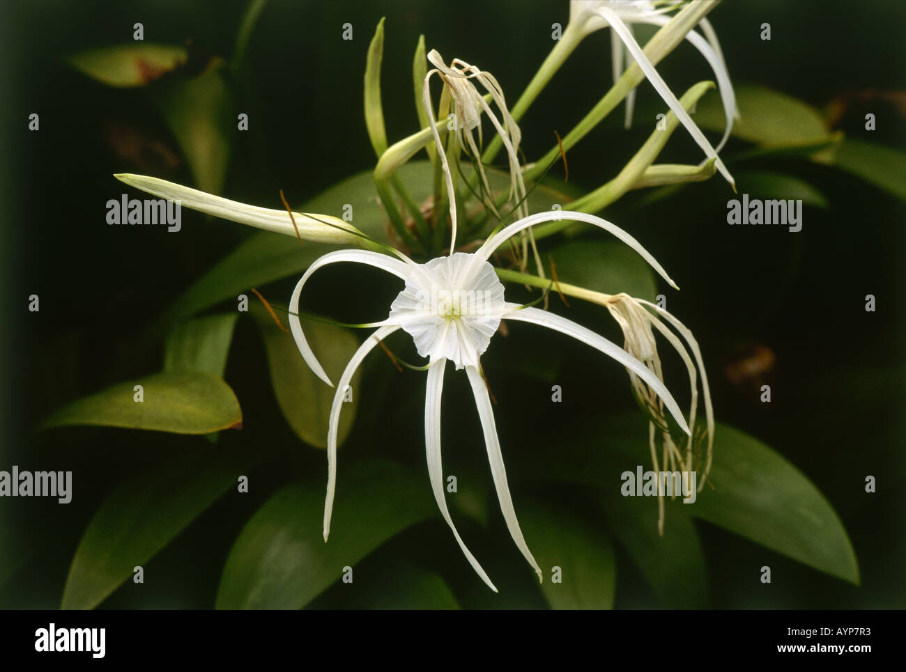 An exotic white spider type flower in singapore stock photo 9803698 an exotic white spider type flower in singapore mightylinksfo