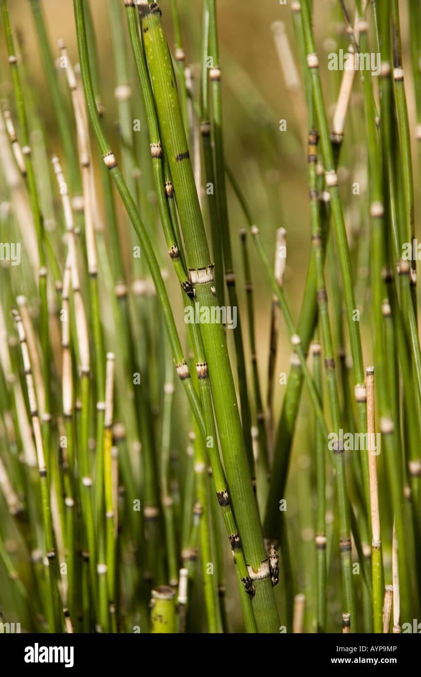 Field Horsetail stems - Equisetopsida arvense Stock Photo