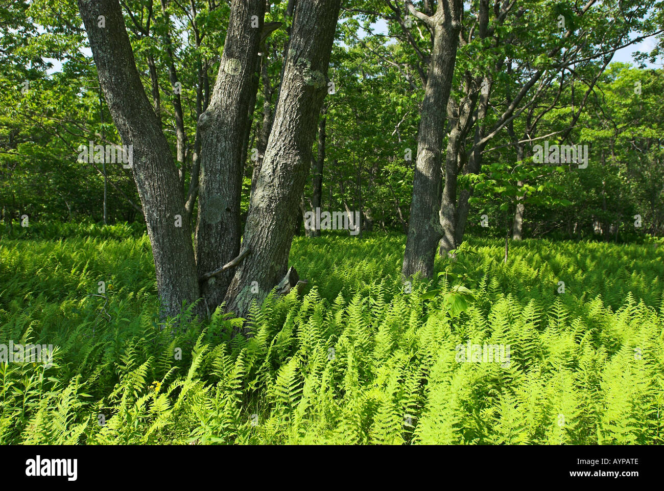 Dolly Sods Wilderness und Scenic Area, West Virginia, USA - Stock Image