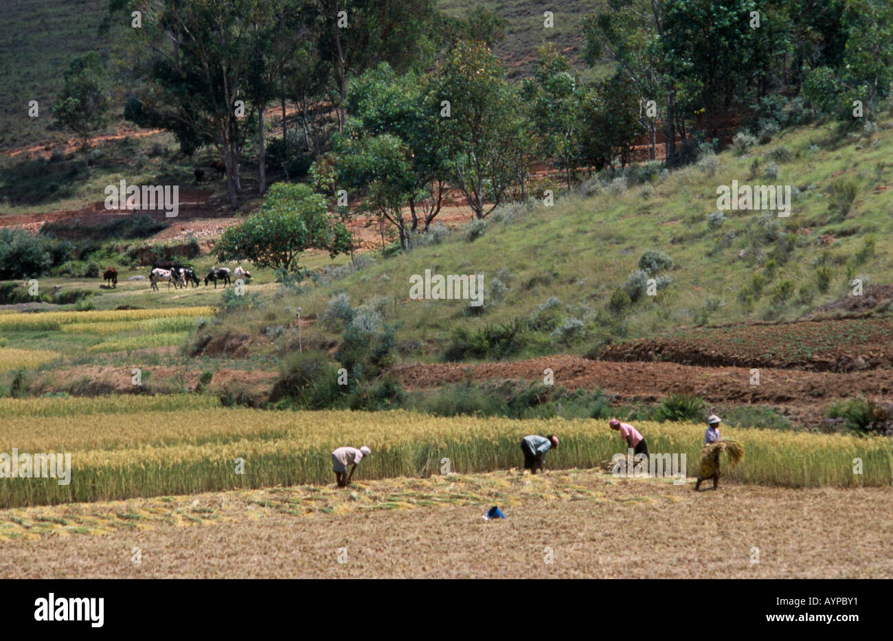 MADAGASCAR Agriculture - Stock Image