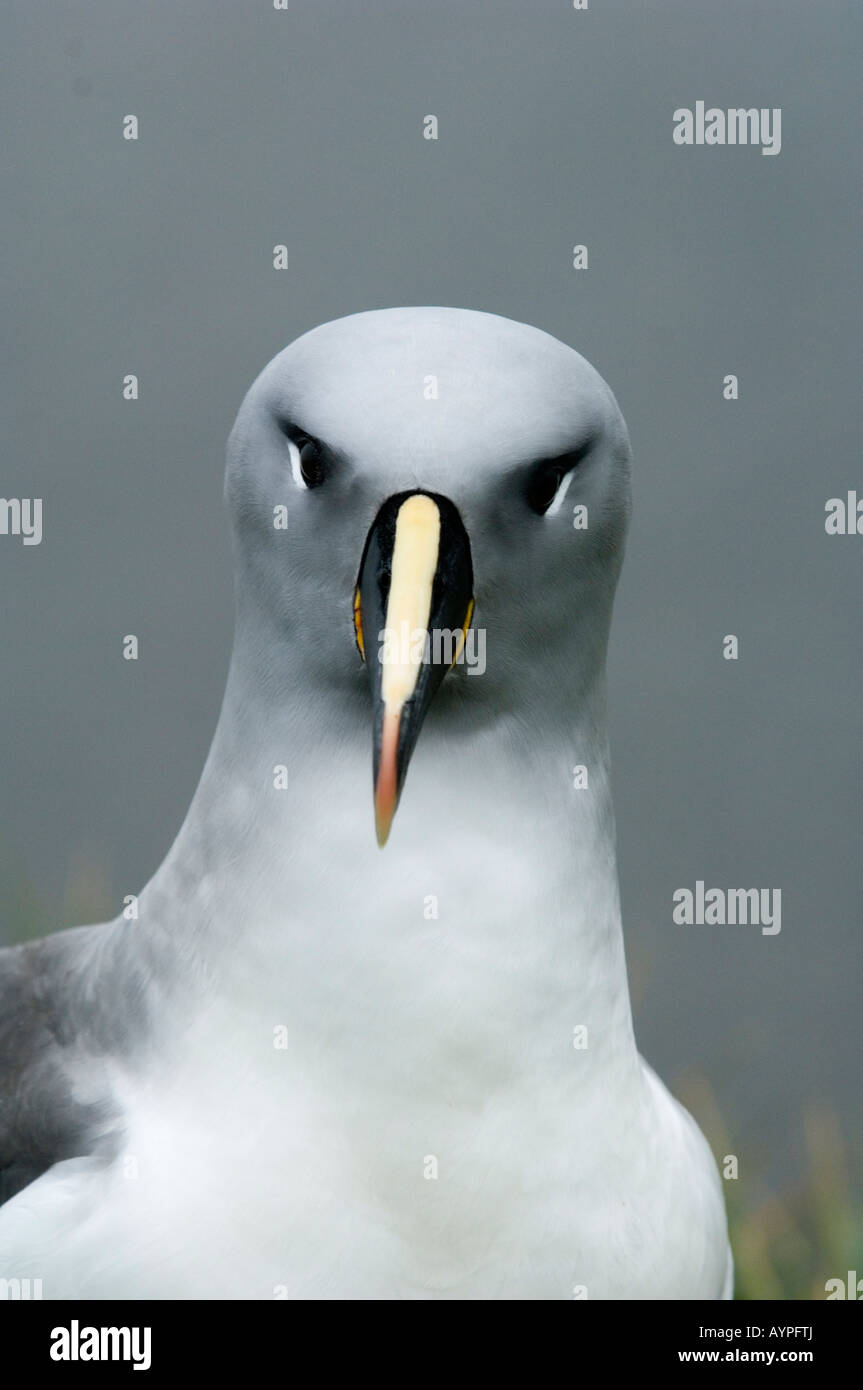 Grey-Headed Albatross (Diomedea chrysostoma), portrait, South Georgia Island, sub-Antarctic, Bird Island. - Stock Image