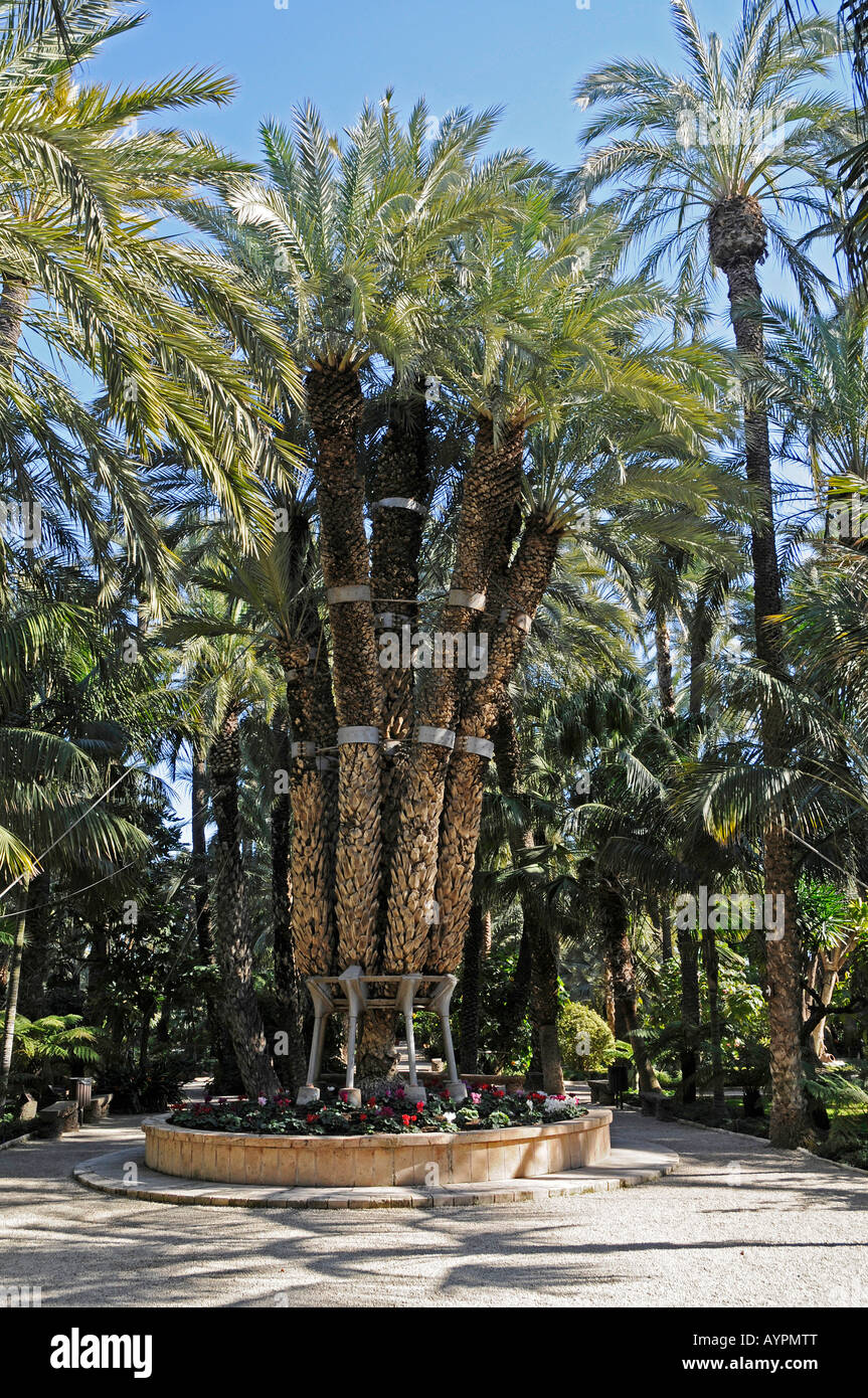 Palmera Imperial (Imperial Palm), Huerto del Cura Gardens, Palmeral of Elche, Elx, Alicante, Costa Blanca, Spain - Stock Image