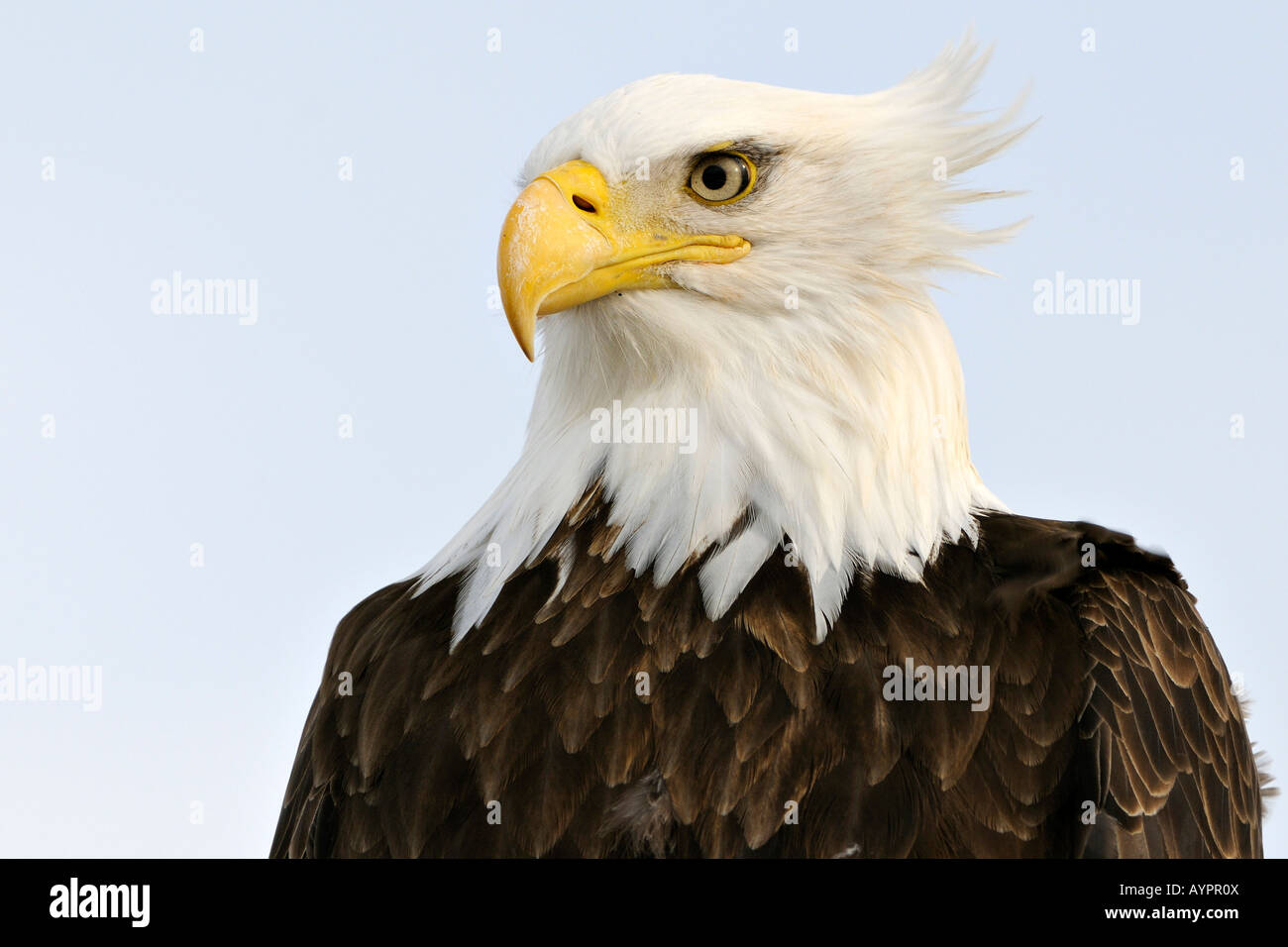 Bald Eagle (Haliaeetus leucocephalus) portrait, Kenai Peninsula, Alaska, USA Stock Photo