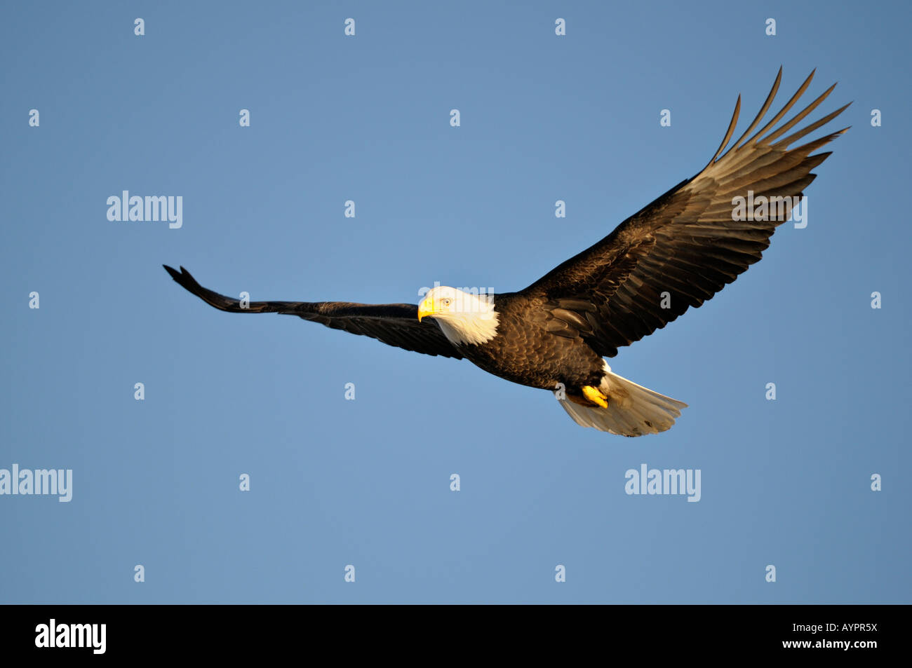 Bald Eagle (Haliaeetus leucocephalus) in flight, Kenai Peninsula, Alaska, USA - Stock Image