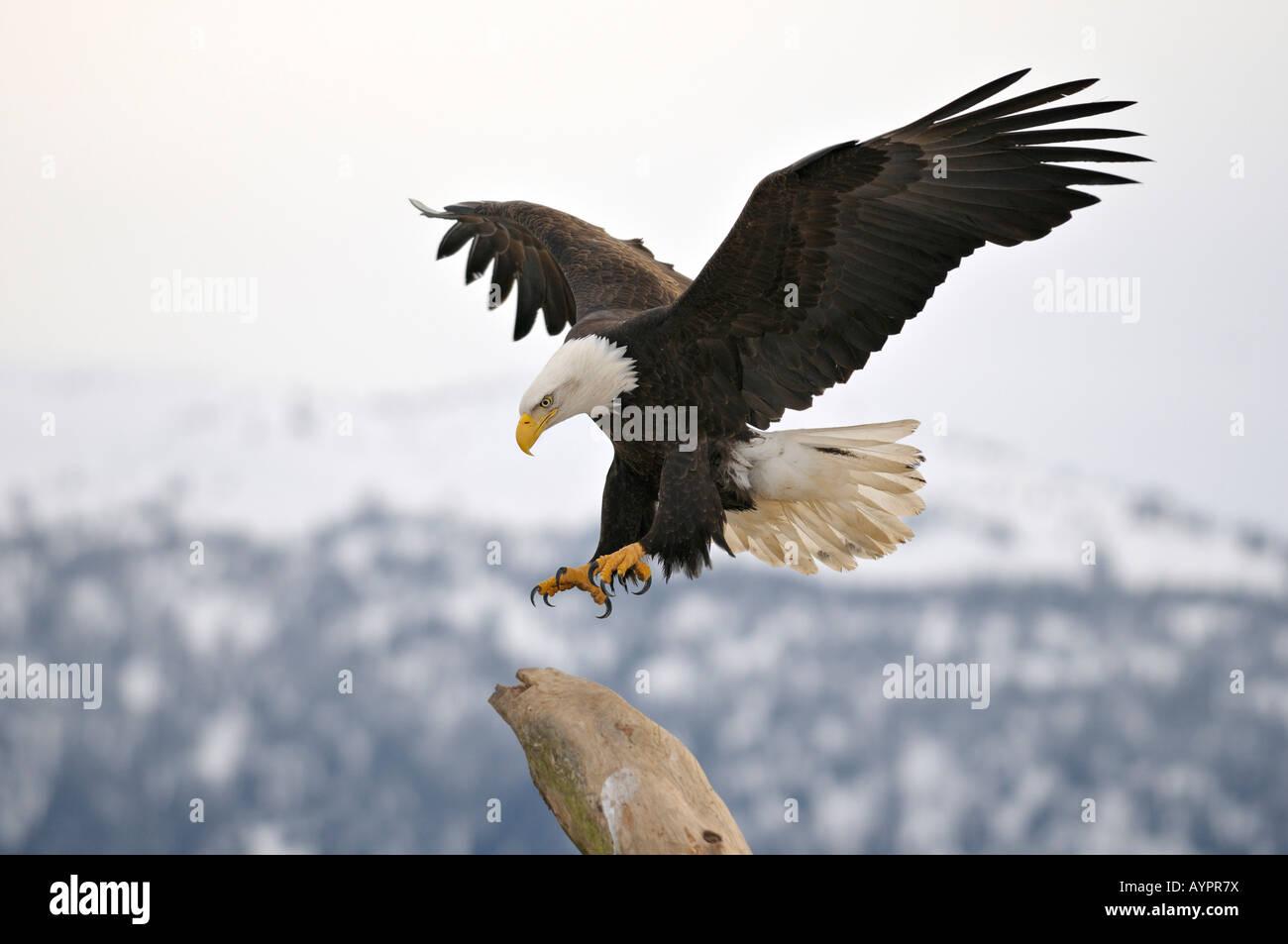 Bald Eagle (Haliaeetus leucocephalus) landing, Kenai Peninsula, Alaska, USA - Stock Image