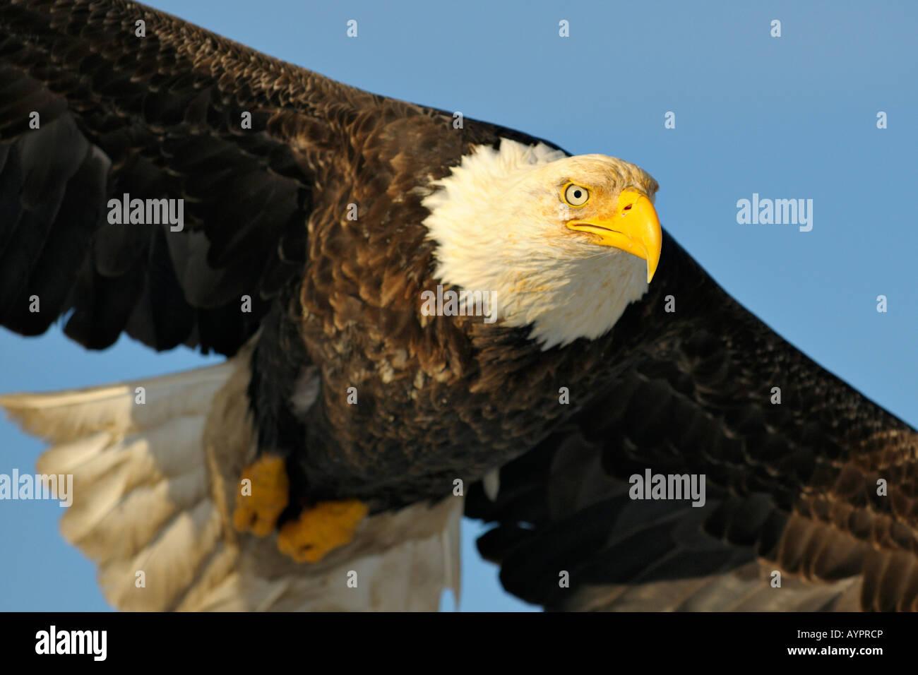 Bald Eagle (Haliaeetus leucocephalus) in flight, Kenai Peninsula, Alaska, USA - Stock Image