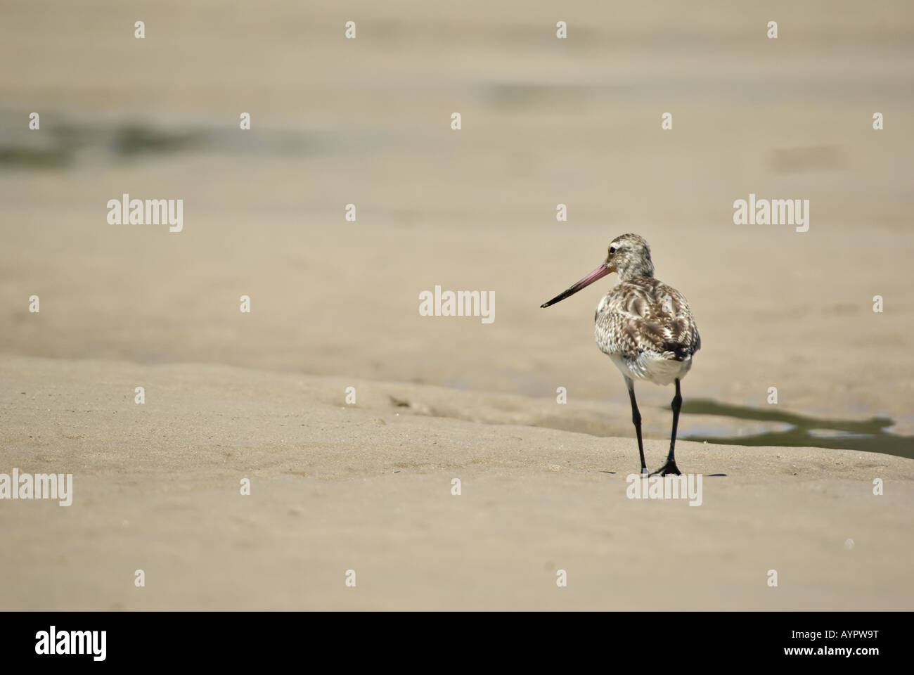 sand piper walks away narrow dof only head in focus - Stock Image