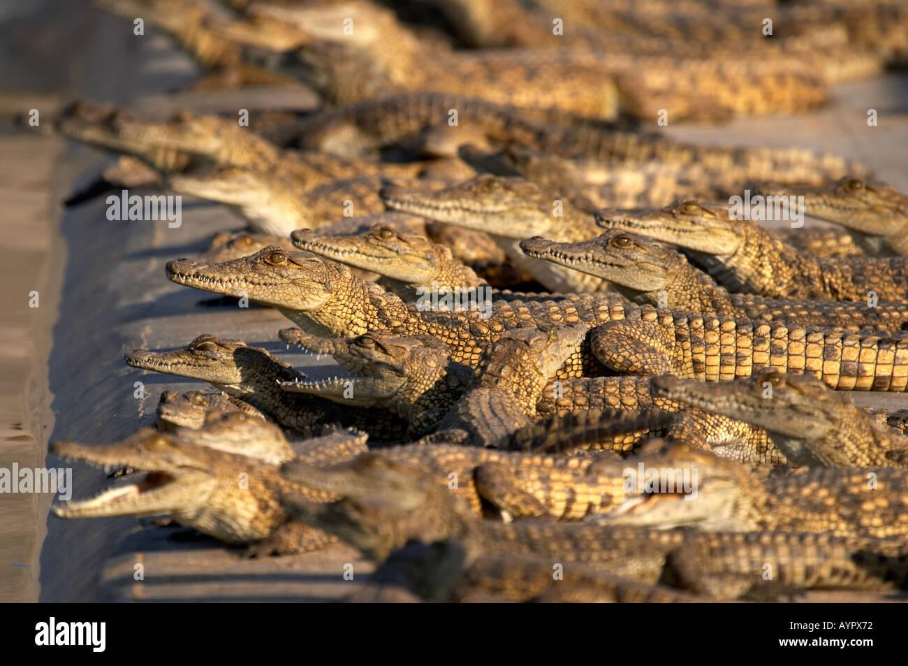 Nile crocodile Farm (Crocodylus niloticus) - Stock Image