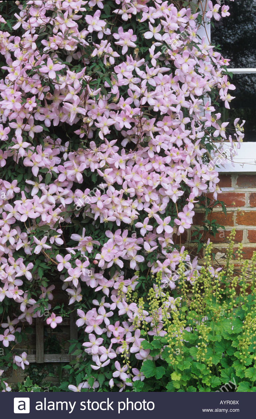 Clematis Montana Climbing On House Wall Spring Flower Deciduous
