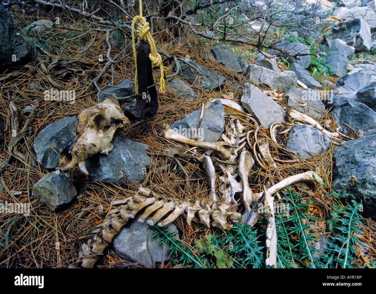 Animal cruelty, skeleton of a dog, tied-up and left to die of starvation, Samaria Gorge, Crete, Greece - Stock Image
