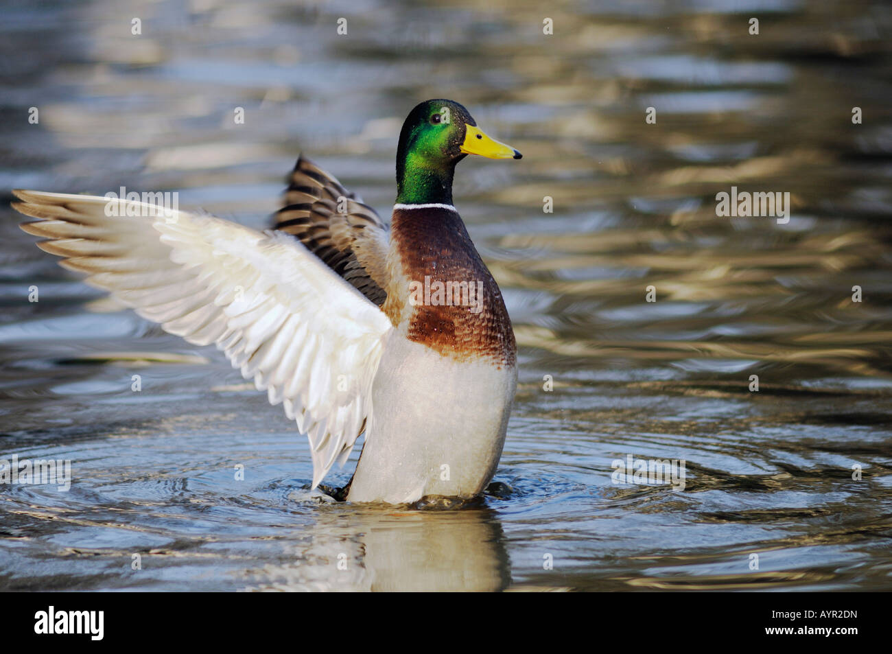 Mallard Duck (Anas platyrhynchos) flapping its wings in the water - Stock Image
