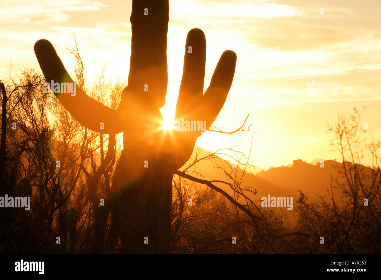 A saguaro cactus in southern Arizona s Sonoran desert backlit by the setting sun - Stock Image