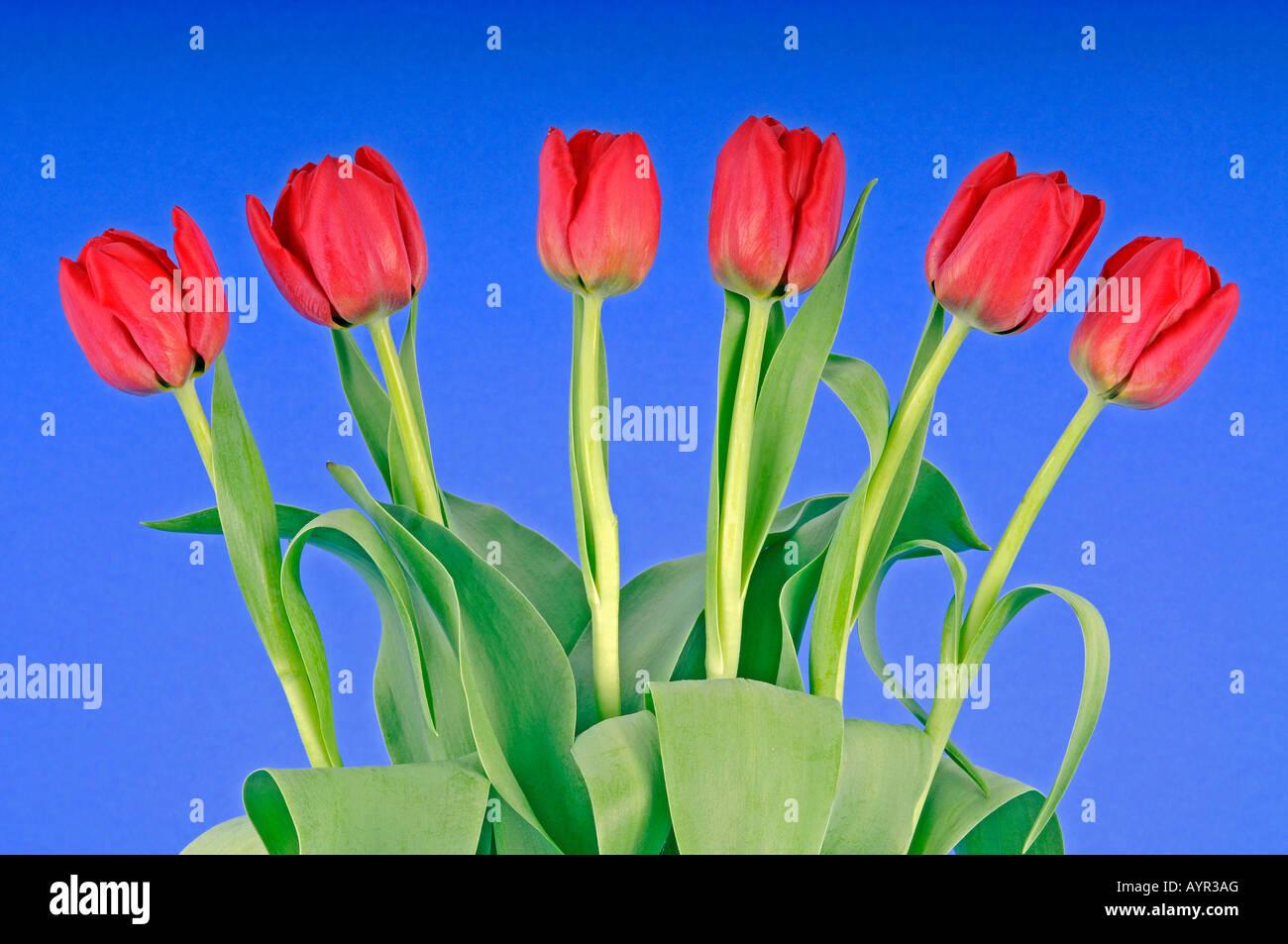 Bouquet of tulips (Tulipa) Stock Photo