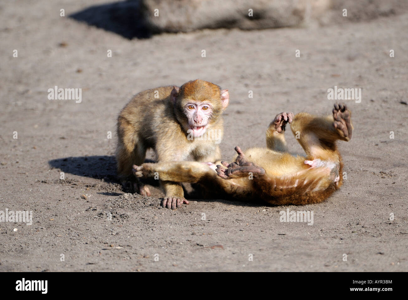 Young Barbary Macaques (Macaca sylvanus) playing, Morocco, North Africa - Stock Image