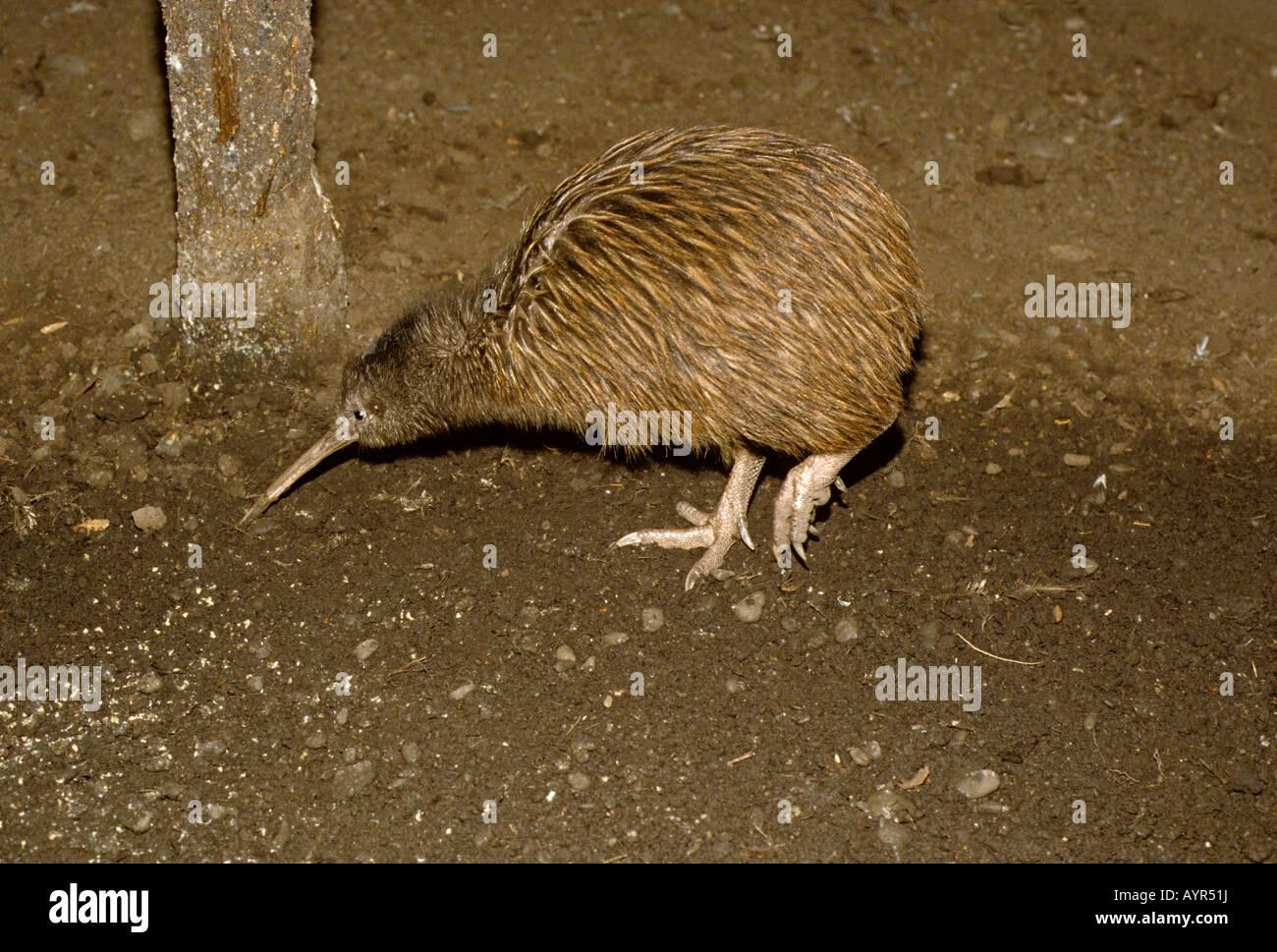 Kiwi (Apterygidae), South Island, New Zealand - Stock Image