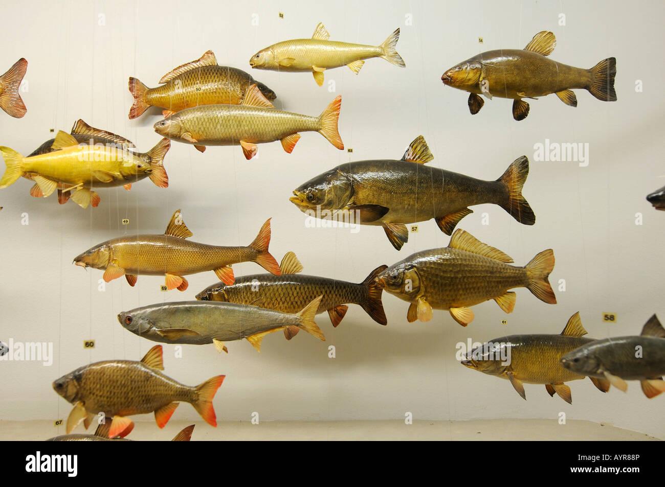 Fish models, Deutsches Jagd- und Fischereimuseum (German Hunting and Fishing Museum), Munich, Bavaria, Germany - Stock Image