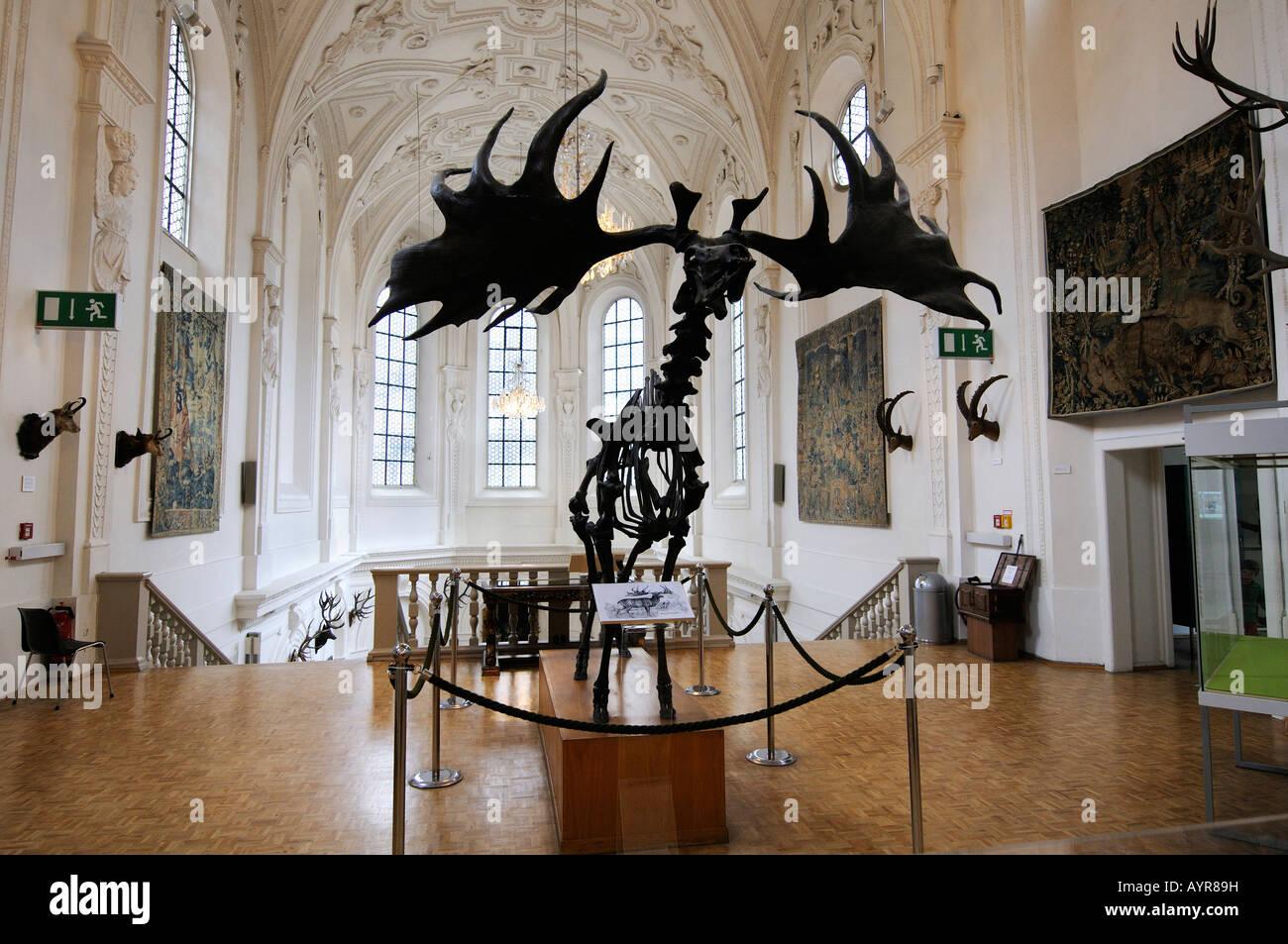 Megaloceros skeleton, Deutsches Jagd- und Fischereimuseum (German Hunting and Fishing Museum), Munich, Bavaria, - Stock Image