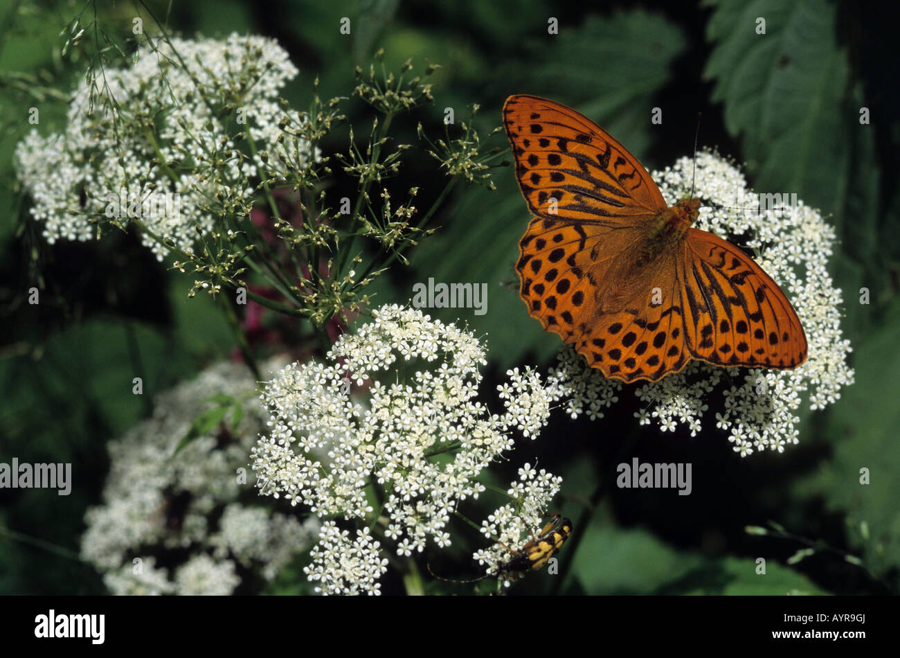 Silver-washed Fritillary (Argynnis paphia) perched on a flower - Stock Image
