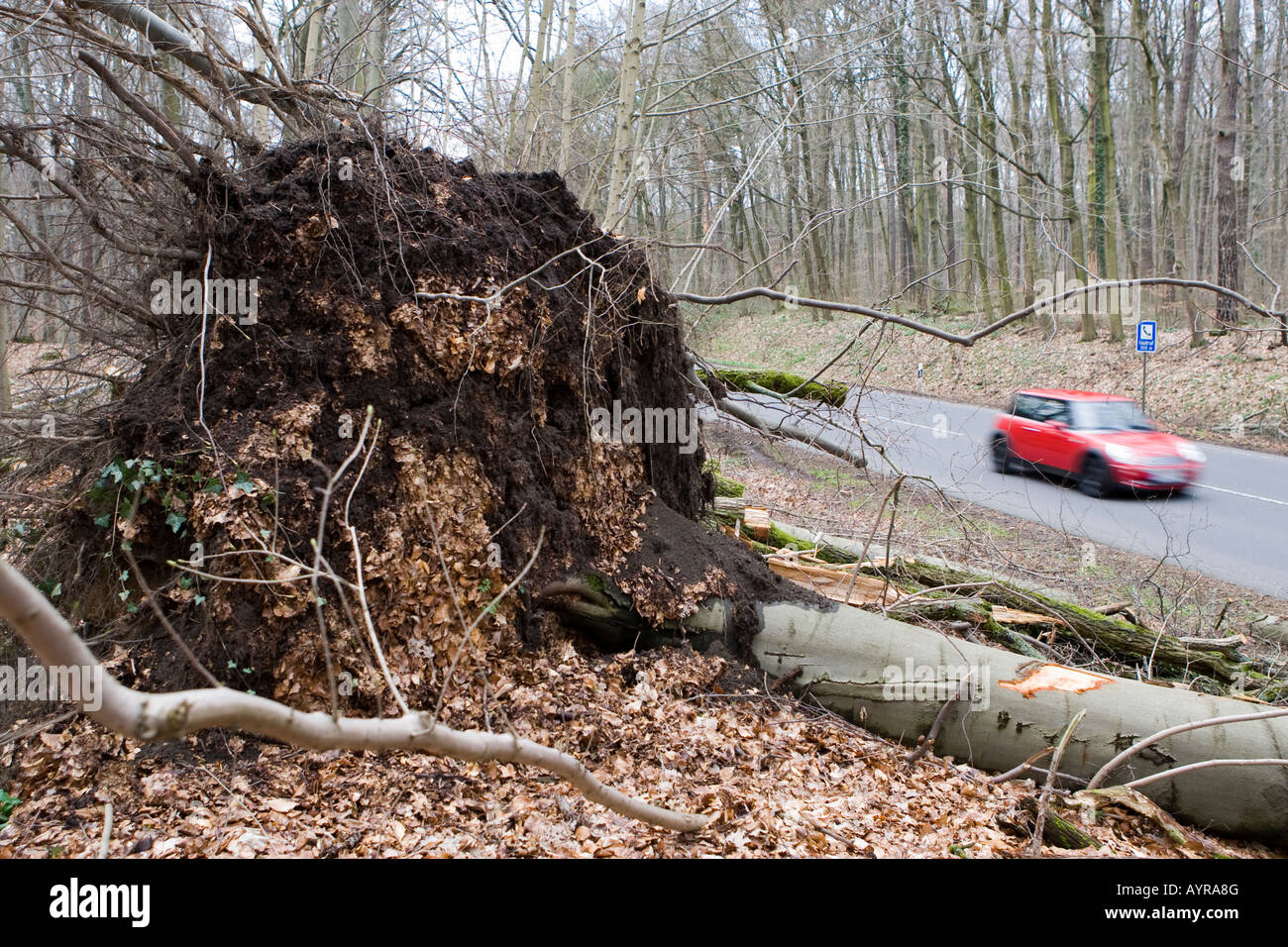 Fallen tree on the side of a road, damage after a storm in Hesse, Germany Stock Photo