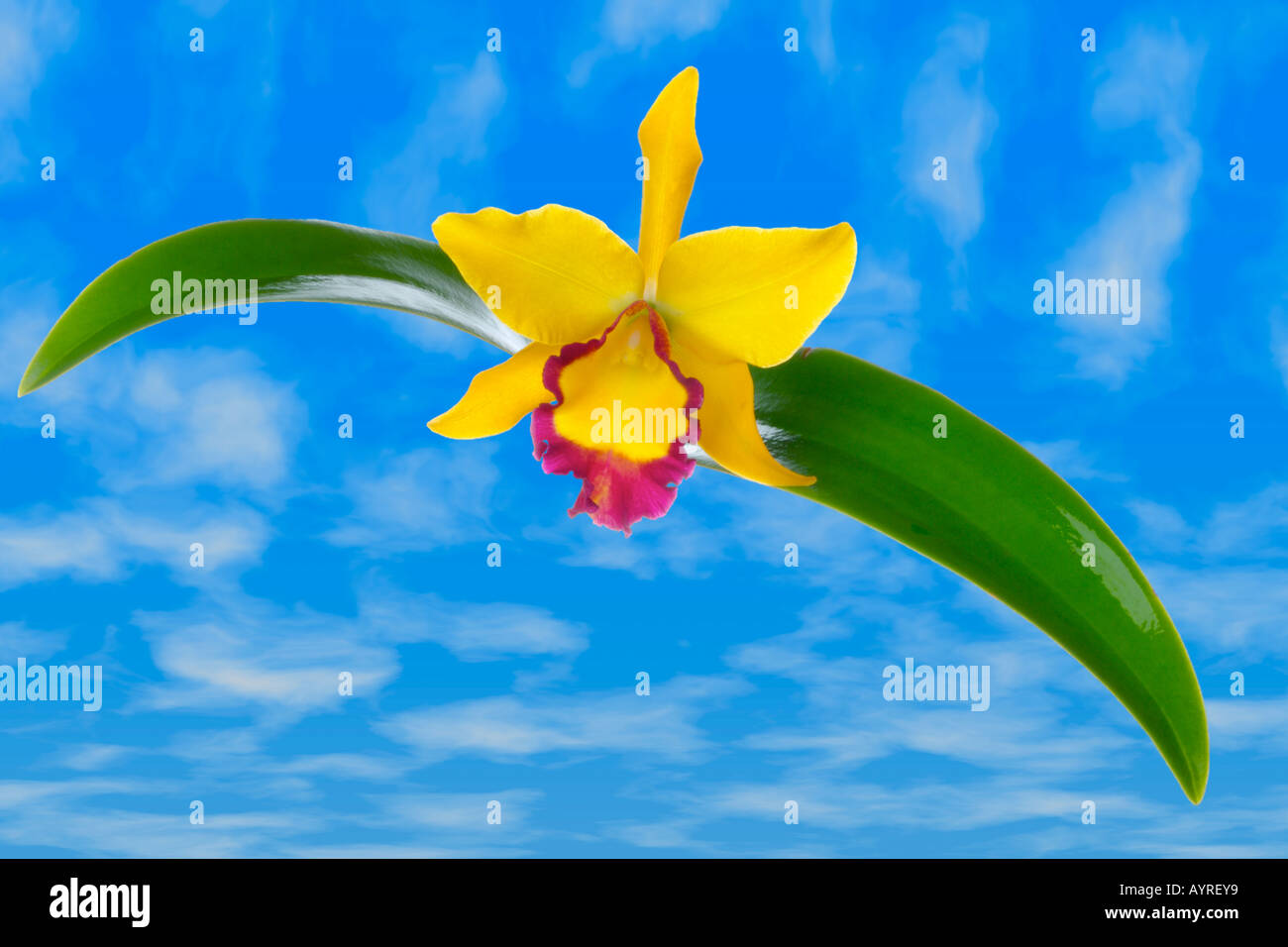A brightly colored Thai yellow Netrasiri cattleya orchid - Stock Image