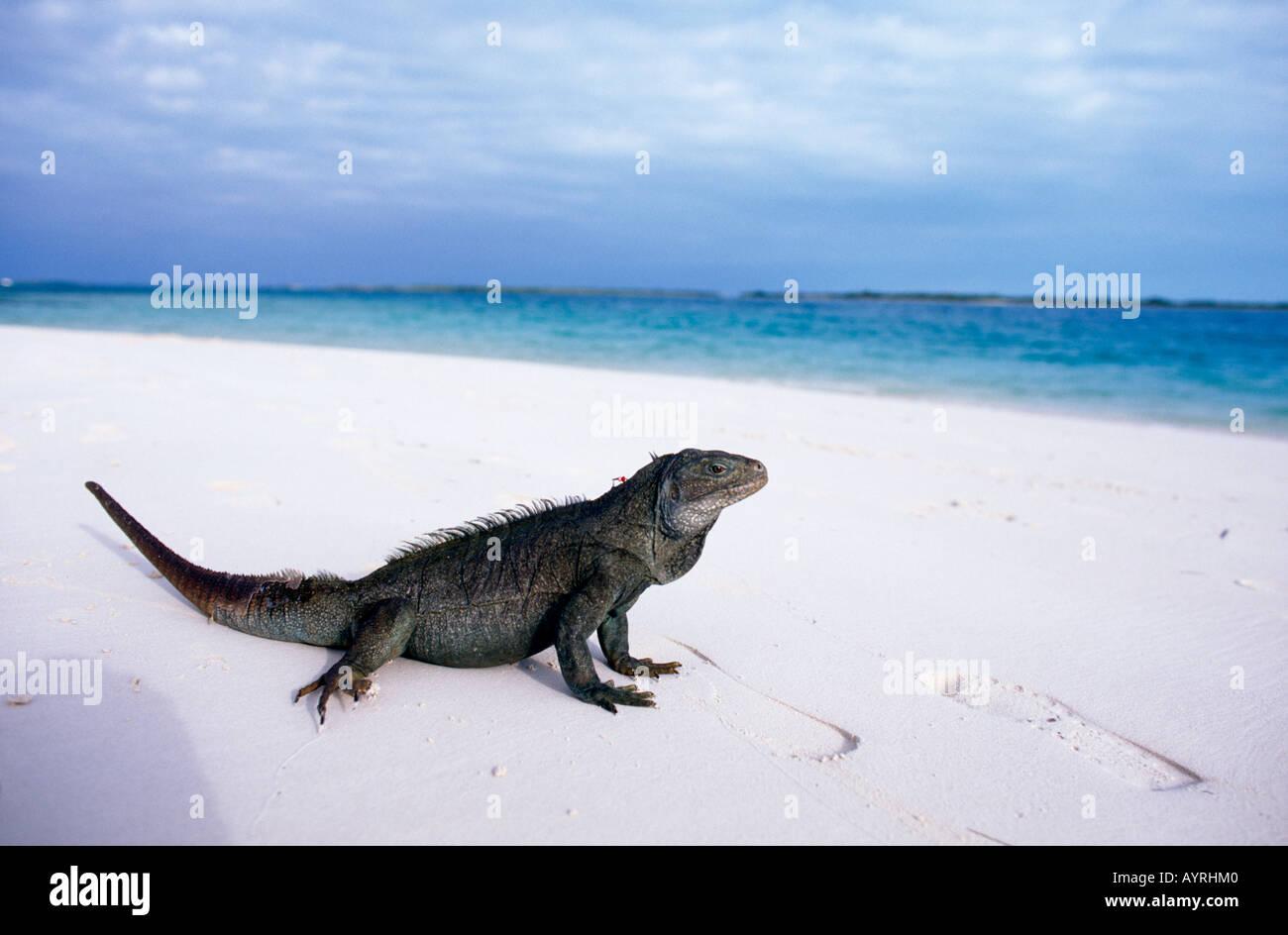 Rock Iguana On Little Water Cay Turks Caicos Islands Stock Photo