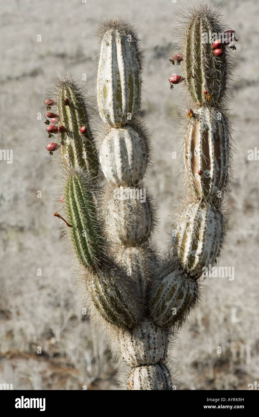 Candelabra Cactus (Jasminocereus thouarsii var. sclerocarpus) reddish purple globular shaped edible fruit Albemarle - Stock Image