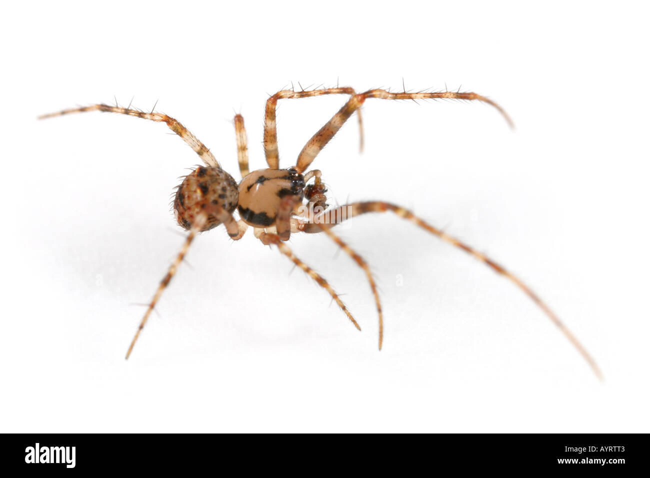 Ero furcata, a Pirate spider that invades other spiders nets and have them as their prey Stock Photo
