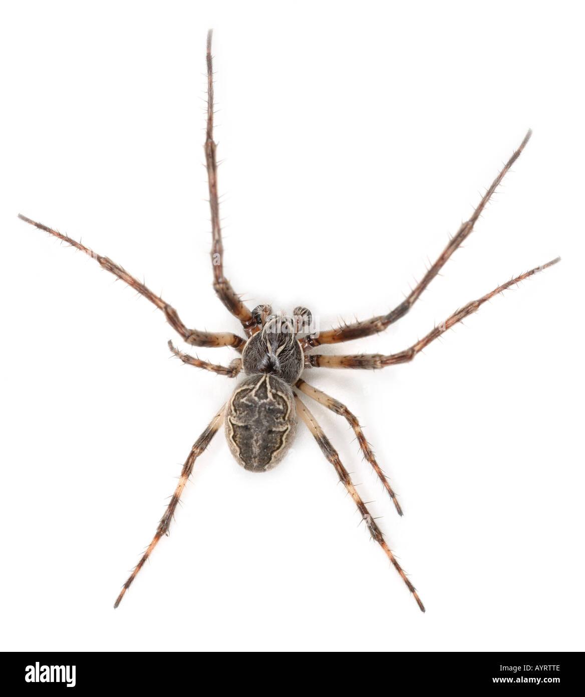 Larinioides  Sclopetarius spider on white background Stock Photo