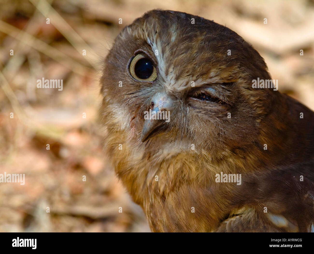 Portrait of a Wood-Owl (Strix) with an eye injury, infection - Stock Image