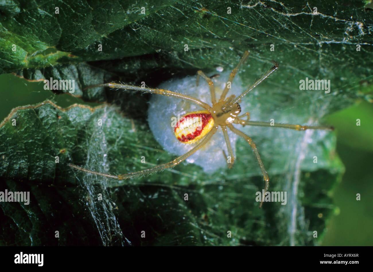 Cobweb Spider (Enoplognatha lineata) and egg cocoon - Stock Image