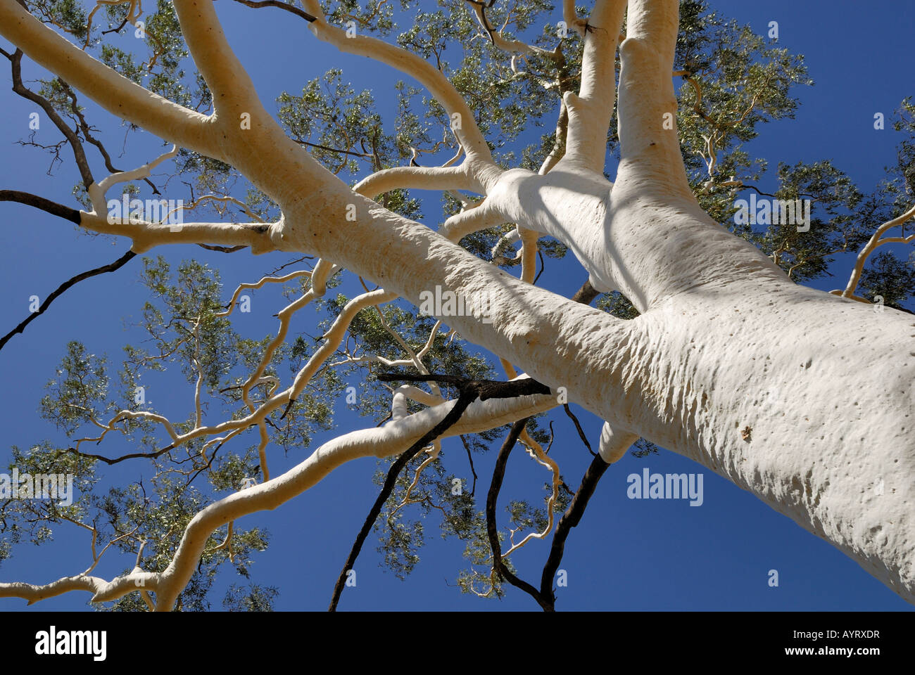 Top of a Ghost Tree (Eucalyptus), East MacDonnell Ranges, Northern Territory, Australia Stock Photo