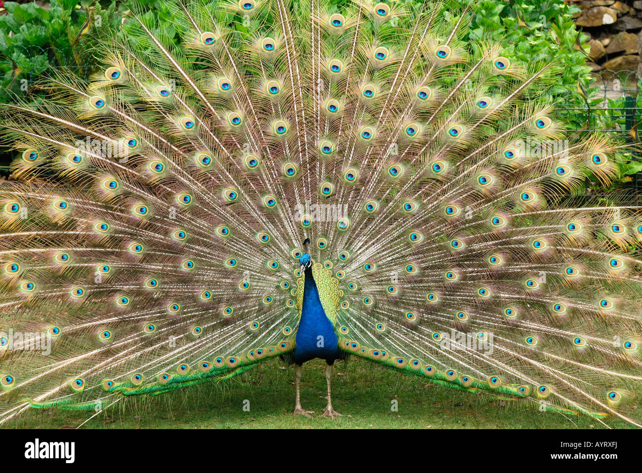 Indian Peafowl or Blue Peacock (Pavo cristatus) with its feathers fanned, showing its plumage - Stock Image