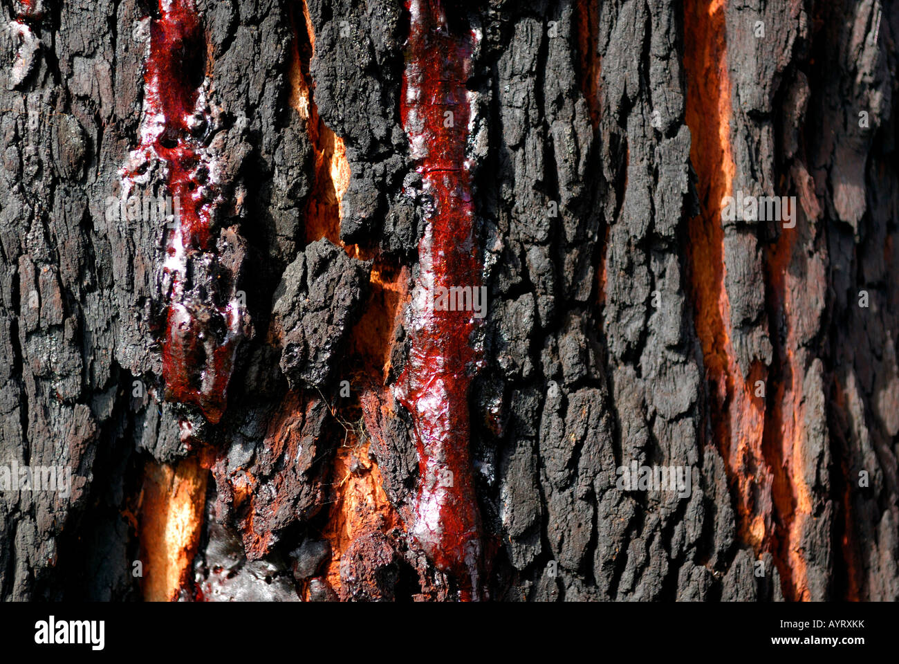 Resin produced by a carbonized Red Gum or Marri tree (Corymbia calophylla), Ambergate Reserve, Western Australia, - Stock Image