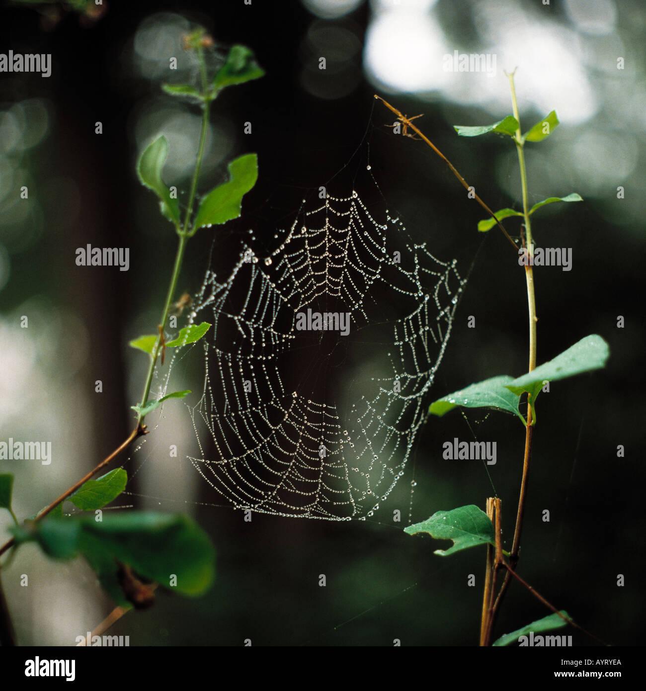 animal, animals, animal world, spiders web, cobweb - Stock Image