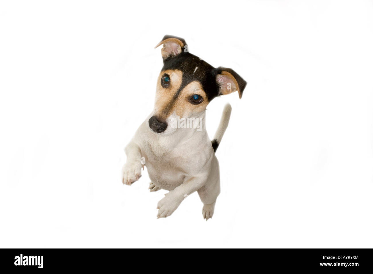 Sweet Jack Russell - Stock Image